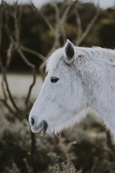 Winter Riding: photo of white pony with a winter beard