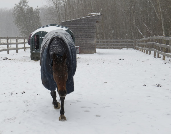 Horse-Human Bond: photo of Larry leaving his turnout buddies to come to meet me at the gate